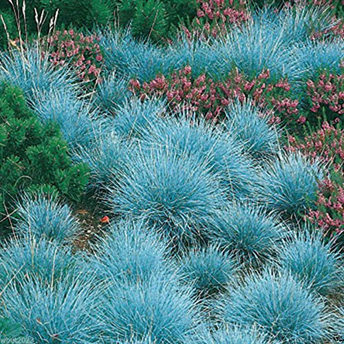 (300 Blue Fescue, Ornamental Grass Seeds - Festuca Glauca - Perennial )
