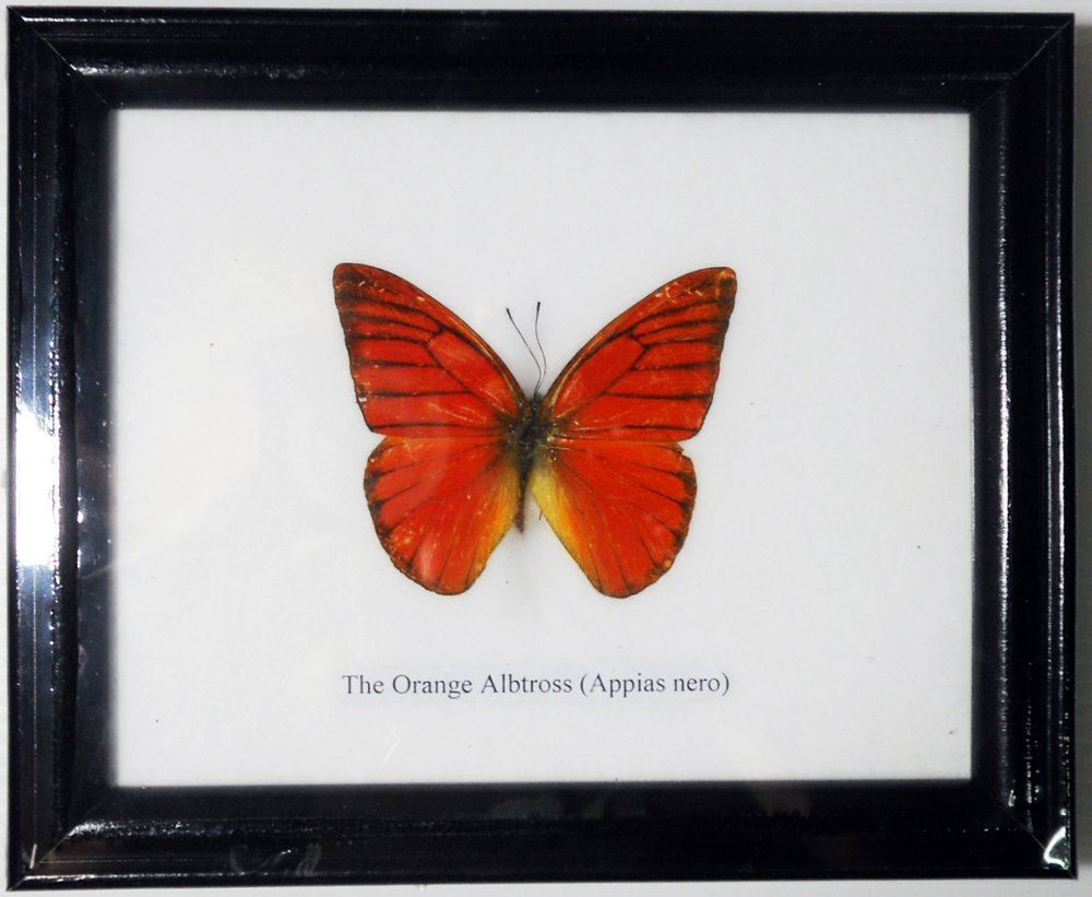 FRAMED REAL BEAUTIFUL ORANGE ALBATROSS BUTTERFLY DISPLAY INSECT TAXIDERMY 5''X5''X1'' by Thai