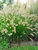 FOUNTAIN GRASS (Pennisetum alopecuroides) 50 seeds