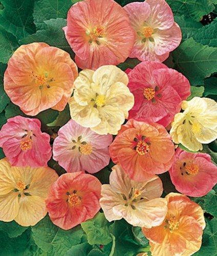 Amazoncom Flowering Maple 20 Seeds Abutilon Tropical Tree