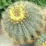 20 Seeds Ferocactus glaucescens Rare Cactus Seed