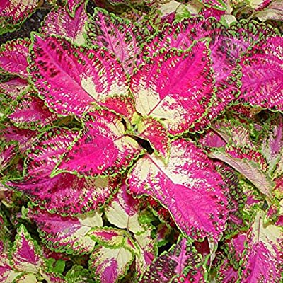 Live Plants Coleus, Tapestry, Spectacular colors of Pink and green : Garden & Outdoor