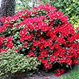 (3 Pack) 9cm Pots Dwarf Rhododendron Scarlet Wonder Brilliant Red Flowering Garden Shrub
