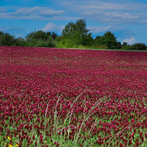 Outsidepride Crimson Clover Seed