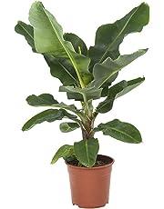 BOTANICLY | Plantes vertes d intérieur – Bananier | Hauteur: 80 cm | Musa Dwarf cavendish