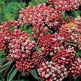 Milkweed- Swamp- Carmine Rose- 25 Seeds