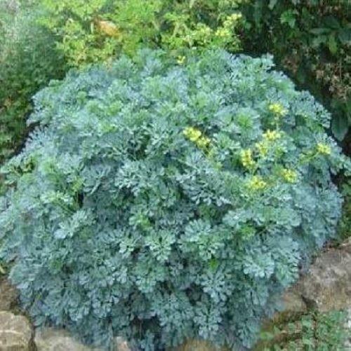 Rue Herb Plant In A 11cm Pot Ruta Graveolens Buy Online