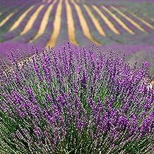 500 TRUE ENGLISH LAVENDER VERA Lavender Augustifolia Vera Herb Flower Seeds Garden, Lawn, Supply, Maintenance