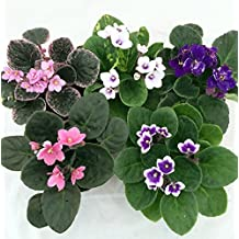 "Novelty African Violet - 4"" Clay Pot/Better Growth - Best Blooming Plant/unique-from jmbamboo"