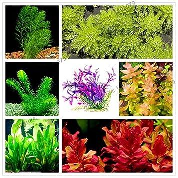 Shoopy Star 10: 100pcs / bag mezclan plantas de agua de especies de peces de acuario tanque de la decoración de la hierba de semilla de una: Amazon.es: ...