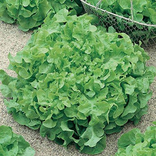 Leaf Lettuce Garden Seeds - Salad Bowl Green - 4 Oz - Non-GMO, Heirloom Vegetable Gardening & Salad Microgreens Seed