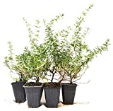 9Greenbox Tuscan Blue Rosemary Plant, 4 Pound (Pack of 6)