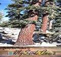 4 Packs x 50 Red Fir - California Red Fir Tree Seeds - Abies magnifica - USED FOR TIMBER, PULP, & POPULAR AS CHRISTMAS TREES - By MySeeds.Co