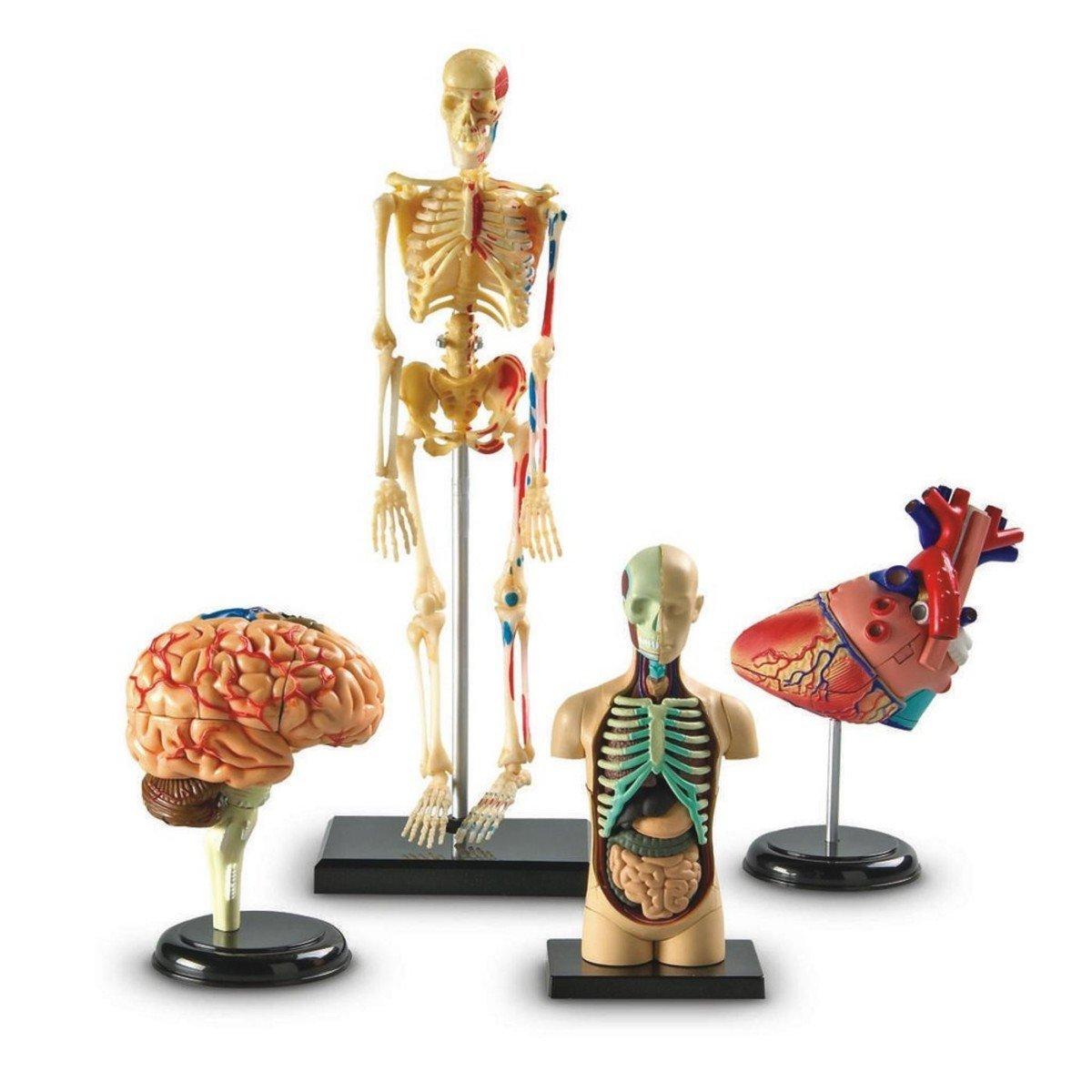 Amazon.com: Learning Resources Anatomy Models Bundle Set: Toys & Games
