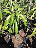 1 Live vietnamese mango fruit plant - cay xoai tuong - 18 To 27 Inches tall