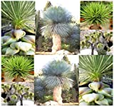 15 X Yucca Species Mix Seed Seeds - Species Include Yucca Baccata, Brevifolia, Angustifolia, Torreyi, Whipplei, Glauca, Elata and Others - Excellent Cactus Succulent Houseplants for Indoor