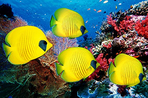 CHOIS Custom Films CF3041 Animal Four Yellow Fishes Corals Glass Window Frosted 4' W by 3' H by CHOIS