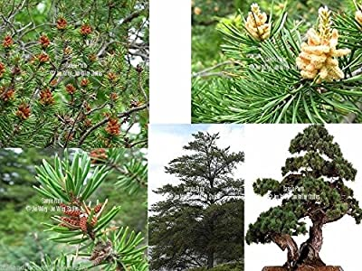 Jack Pine Tree 10 Seeds Bonsai or Standard tree Short Needles Grows Everywhere! Pinus banksiana