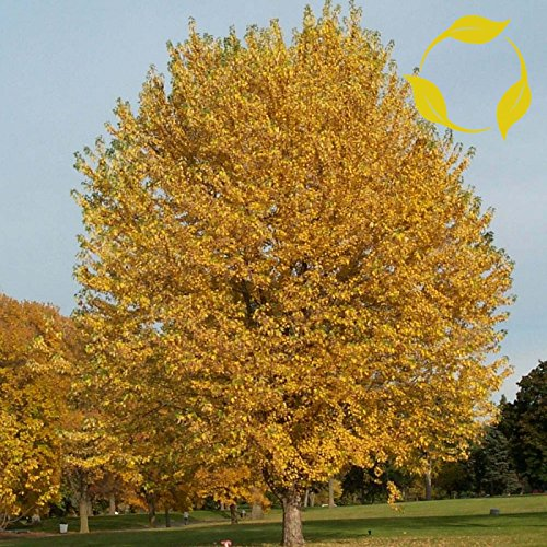Silver Maple Seeds - SILVER MAPLE Acer Saccharinum SEEDS