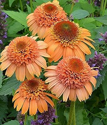 Supreme Cantaloupe Coneflower Seeds (Echinacea) 50 Seeds Upc 647923988949