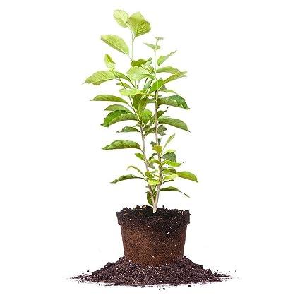 Amazoncom Ann Magnolia Tree Size 5 Gallon Live Plant