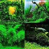 KOUYE GardenSeeds- 100 Piece Aquarium Grass Plant Seed Moss Grass Seed Landscape Bonsai Seeds Water Grass Seed Organic Seed Hardy Perennial Herb Plant, Fast-Growing Grass