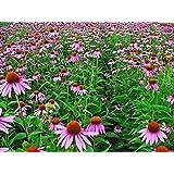 500 Echinacea Seeds - Purple Coneflower (Echinacea purpurea) Flowers Seeds