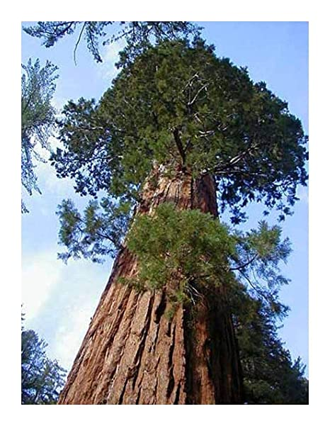 Exotic Plants Sequoiadendron giganteum - - 20 semillas