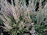 "Silver Knight Scotch Heather - Calluna vulgaris - Hardy - 2.5"" Pot"