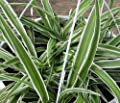 """Hirt's Reverse Variegated Spider Plant - Easy to Grow - Cleans the Air - 4"""" Pot by Hirt's"""