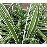 "Hirt's Reverse Variegated Spider Plant - Easy to Grow - Cleans the Air - 4"" Pot"