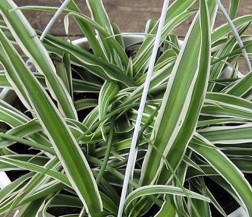 Hirt's Reverse Variegated Spider Plant - Easy to Grow - Cleans the Air - 4