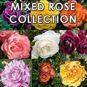 Mixed planta colección de 20Floribunda rosas–Floribunda Bush Rosa rosa