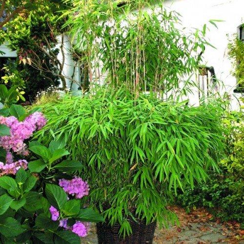 Bambus 'Superjumbo' Größe wählbar! [25 Liter]