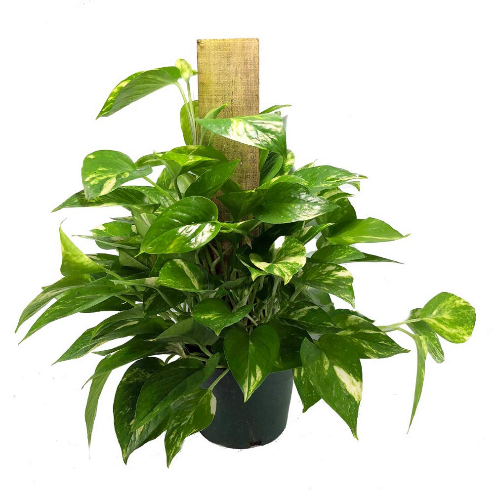 AMERICAN PLANT EXCHANGE Golden Pothos Totem Pole Live Plant 6'' 1 Gallon Indoor Air Purifier