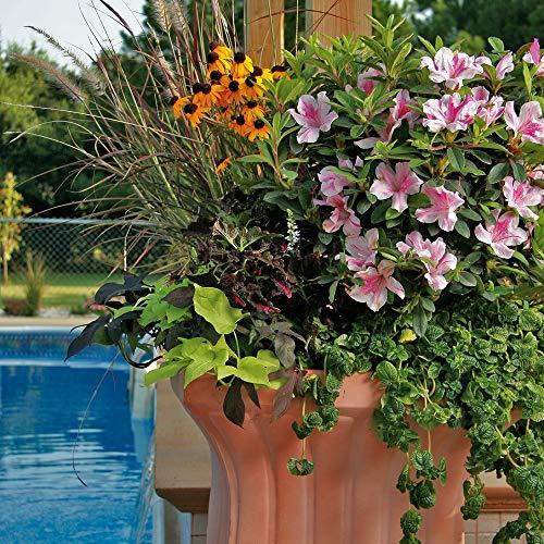Encore Azalea | 1 Gallon Autumn Twist, Multicolor Re-Blooming Evergreen Shrub by Encore (Image #1)