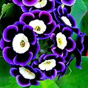 La nueva llegada 500pcs raras semillas fantasma de la petunia del jardín de flores Bonsai Semillas semillas de la petunia