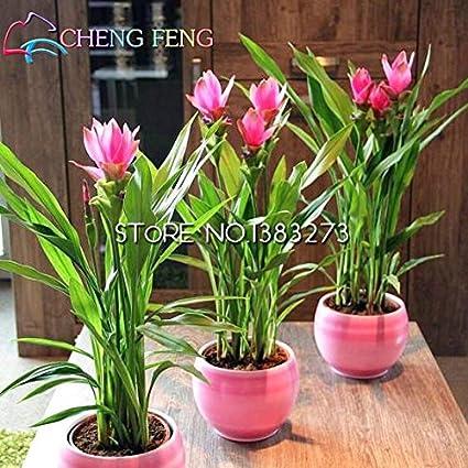 Amazon.com : 100 Seeds Turmeric Roots Curcuma Longa Medicinal Herb ...