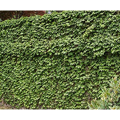 Sprawling Parthenocissus Tricuspidata (Boston Ivy / Japanese Creeper) 100 Seeds : Garden & Outdoor