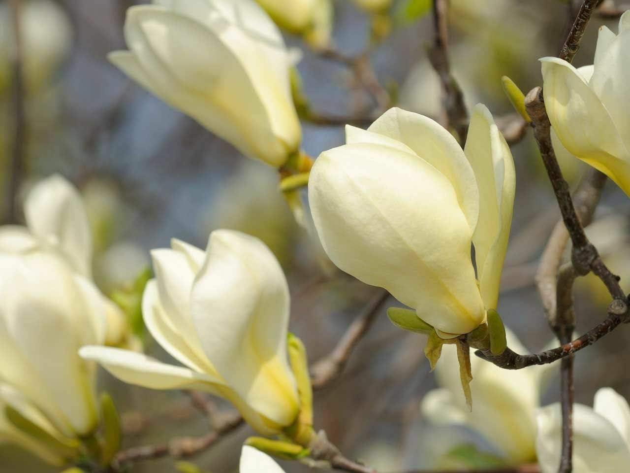 Amazon Com 5 Seeds Yellow Magnolia Lily Flower Tree Fragrant