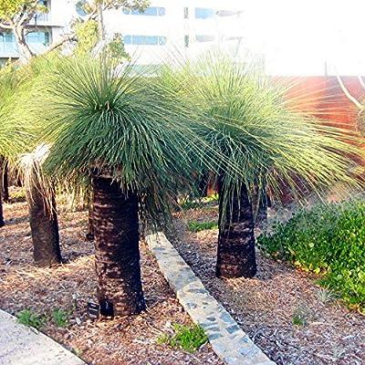 Grass Tree Seeds Rare Grass Tree Bonsai Pot Plant for Home and Garden Easy Grow Ornamental Plant 100Pcs : Garden & Outdoor
