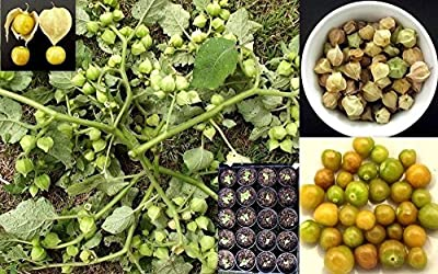 100 Gooseberry Seeds (Physalis Peruviana) , Poha Berry,Aunt molly's ,Ground Cherry