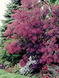 Royal Purple Smoke Tree ( smokebush ) - Live Plant - Quart Pot