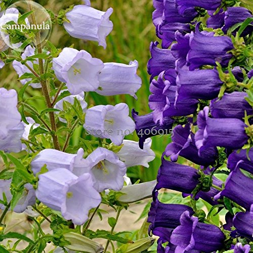 2018 Hot Sale Rare Light Dark Purple Campanula Bellflower Flowers, 50 Seeds, Canterbury Bell Bluebell Light up Your Garden E3643 ()