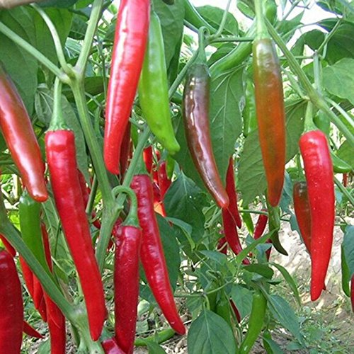 10pcs-home-garden-rare-giant-spices-red-spicy-chili-pepper-seeds-vegetable-plant