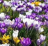Crocus sativus Flower seeds - 50pcs Home Garden Bonsai DIY Plant Semillas de flores Flowers seeds Purple White