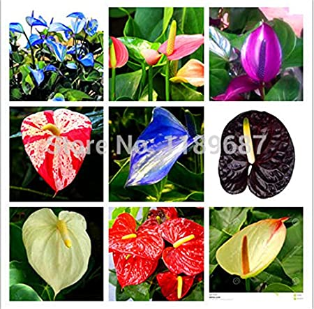 100 SEED Rare Flower Seeds Anthurium Andraeanu Seeds PURPLE ANTHURIUM A