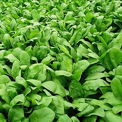 hudiemm0B Spinach Seeds, 300Pcs Spinach Seeds Easy Grow Farm Field Nutritious Vegetable Garden Plant Spinach Seeds: Sports & Outdoors