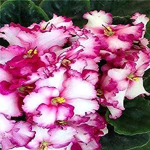 La nave libre 20 semillas Graines de Violeta Hermosa planta de los bonsais de la flor de la semilla tropical Flores Semillas de hierbas perennes matthiola Incana