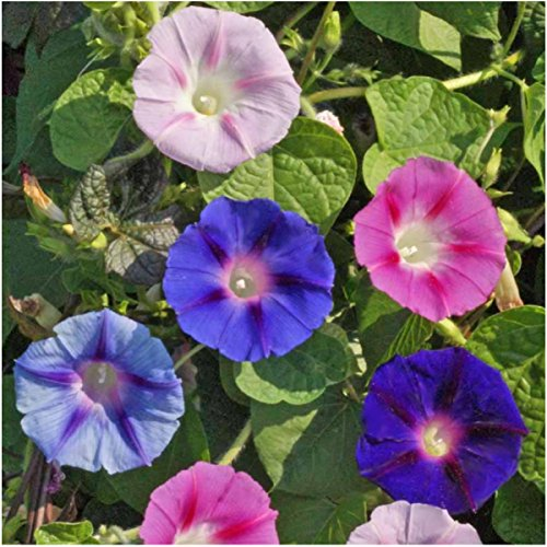 Package of 100 Seeds, Morning Glory